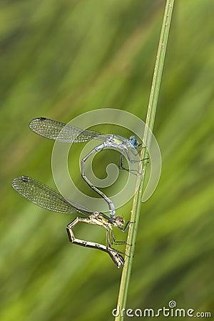 Mating azure damselflies