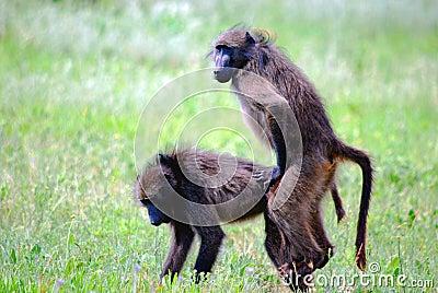 Mating Baboons