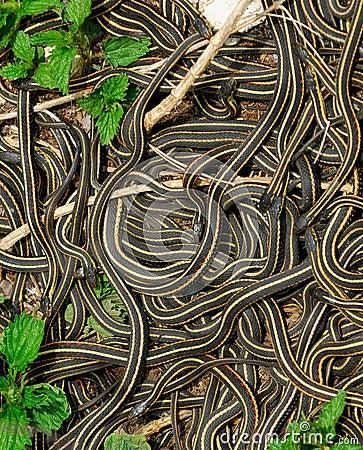 Free Mating Ball Of Garter Snakes Stock Photo - 2412240