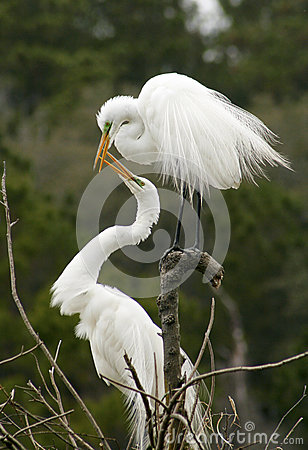 Free Mating Behavior Of Two Egrets In Georgia. Royalty Free Stock Photo - 81701185