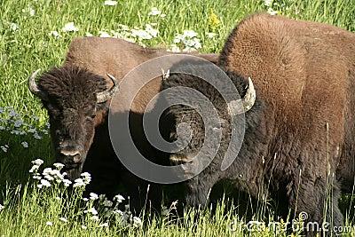 Mating Buffaloes