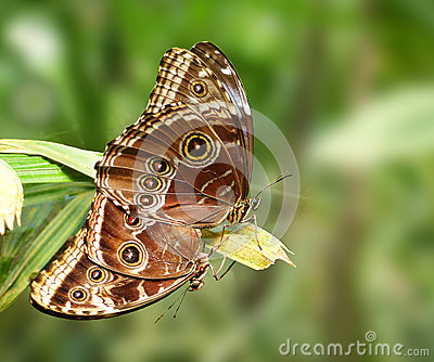 The mating butterfly