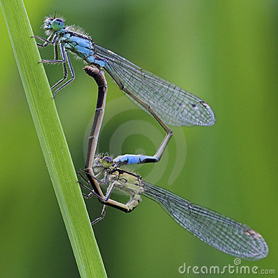 Free Mating Damselflies Stock Photo - 2163100