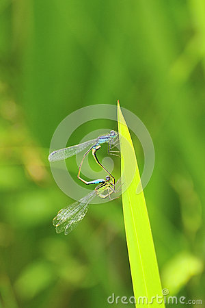 Mating Damselflies (Ischnura elegans)