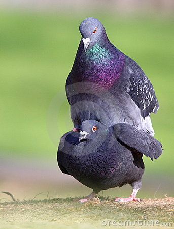 Mating Doves Royalty Free Stock Images - Image: 14032309