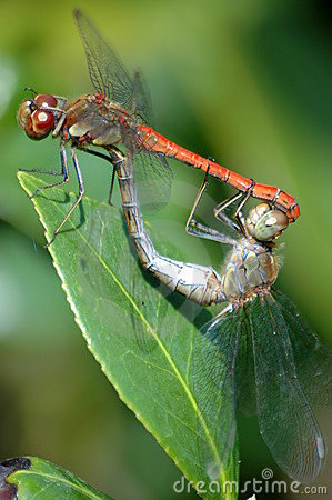 Free Mating Dragonflies Stock Photos - 13081633