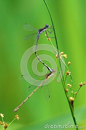 Free Mating Dragonflies Stock Photos - 29058663