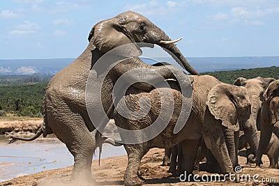 Mating Elephants.