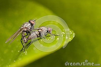 Mating flies close-up