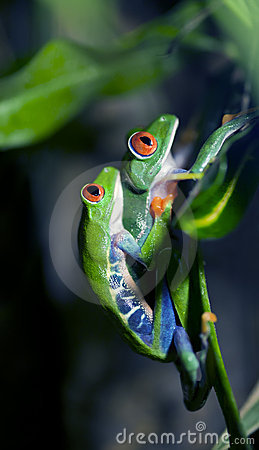 Free Mating Frogs Royalty Free Stock Photography - 20401757