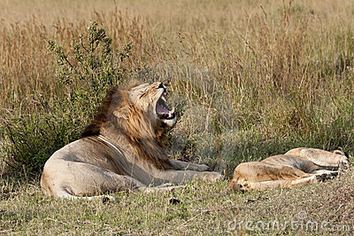 Mating lions, foreplay