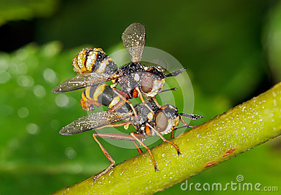 Mating Mating Thick-headed flies
