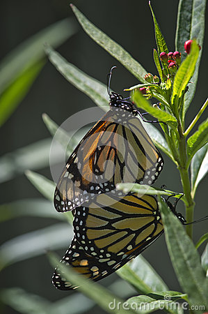 Free Mating Monarchs Royalty Free Stock Image - 24663836