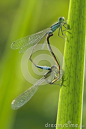Free Mating Of Damselflies Stock Image - 14325611