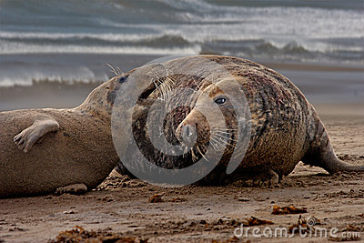 Mating time for Seals
