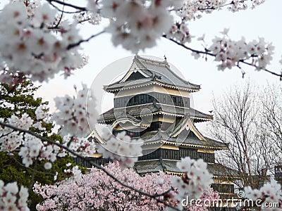 Matsumoto Castle during cherry blossom (Sakura)