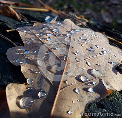 Free Mature Beauty. Morning Dew On Oak Leaves Royalty Free Stock Photo - 134998965