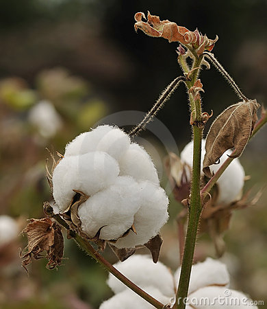 Mature cotton