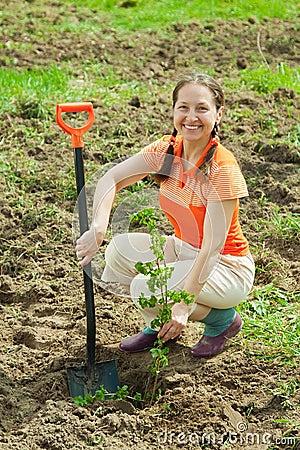 Mature gardener  planting   shrubbery