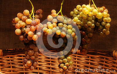 Mature grapes