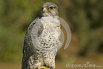Mature Gyrfalcon (falco rusticolus)