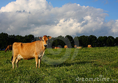 Mature Jersey Cow in Kikuyu Field
