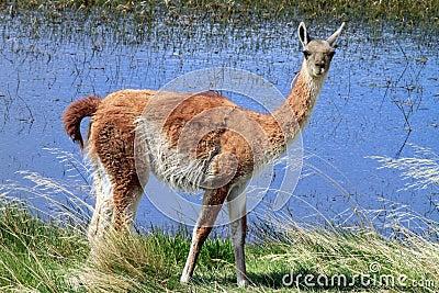 Llama by the Lake