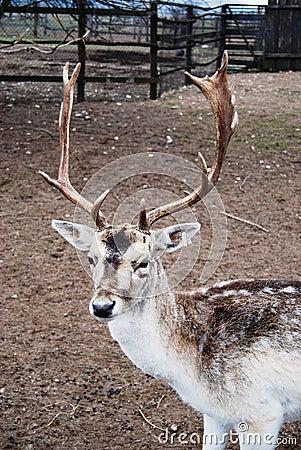 Mature north deer portrait