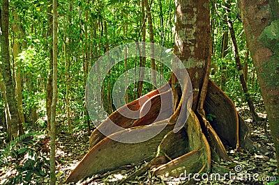 Mature Strangler Fig Tree
