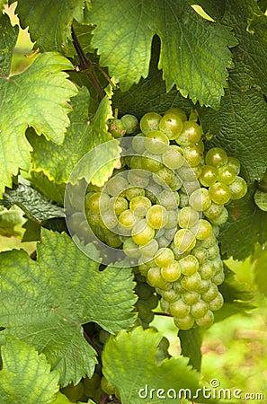 Free Mature White Grapes Royalty Free Stock Photos - 21100458