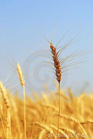 Mature Winter Wheat