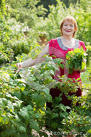 Mature woman gathers currant leaves