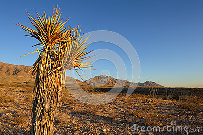 Mature Yucca Cactus with Mountain Background