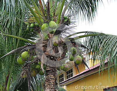 Matured coconut tree