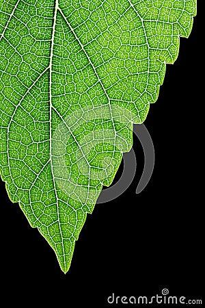 Maulbeereblatt