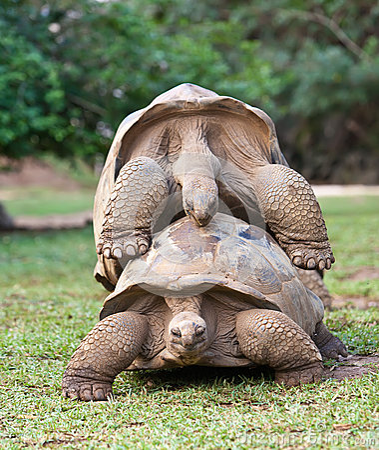 Mauritius.Big Seychelles turtle.Close up