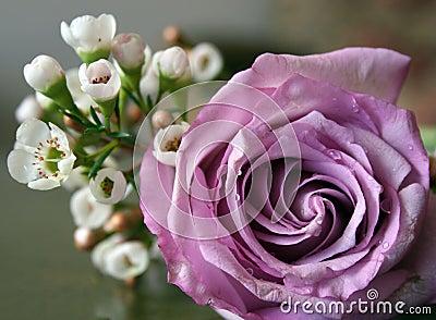 Mauve rose in bloom