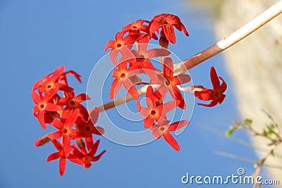 Maximowiczii flowers