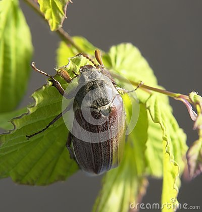 Free May Beetle In Green Foliage Stock Photography - 31018812