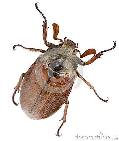 Free May-bug Royalty Free Stock Image - 16816876