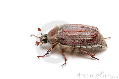 May Bug Stock Photography - Image: 5495932
