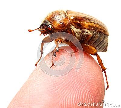 May-bug on a finger tip