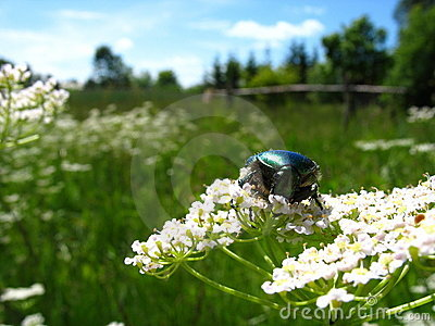 May-bug on flower