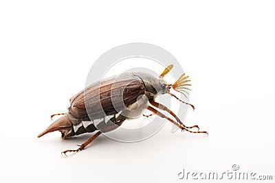 May bug on white