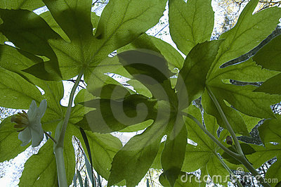 Mayapple, Bugs-Eye View, Early Spring