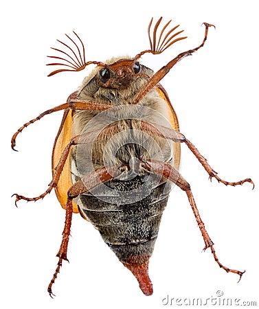 Free Maybug Belly Royalty Free Stock Photo - 5306045