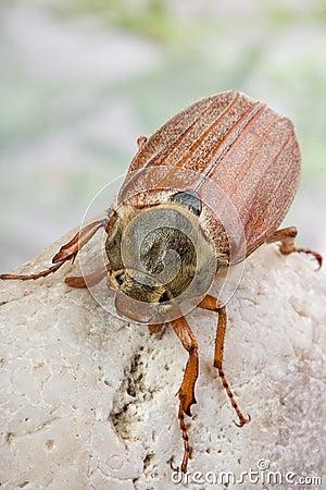 Free Maybug On A Rock Stock Photo - 13499950