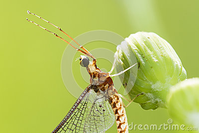 Mayfly portrait