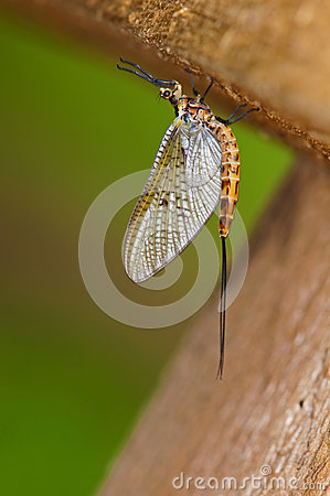 Free Mayfly Resting Under Old Timber Bridge Royalty Free Stock Photography - 24668317