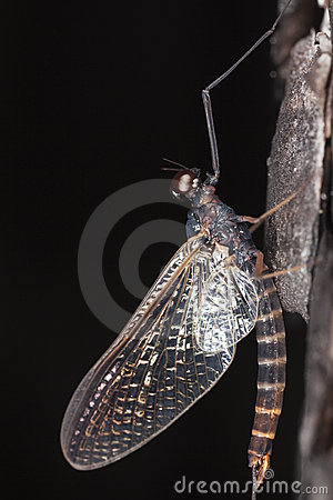 Free Mayfly With Black Background Stock Photos - 16766043